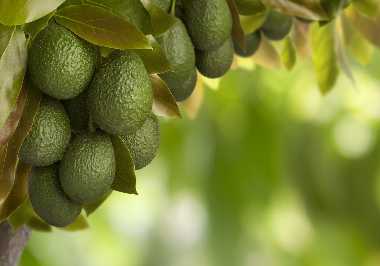 Avocado Baum iStock-157614118