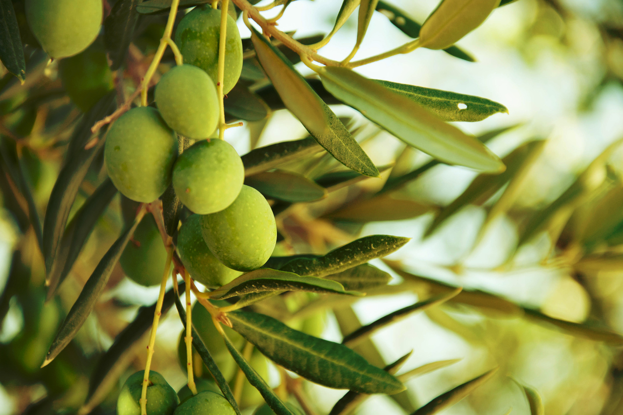 Oliven Baum_iStock-501047737